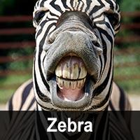 Geburtstagskarten mit Zebras